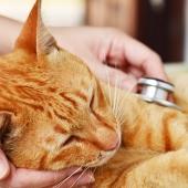 Hartproblemen bij je kat? Dit zijn de symptomen