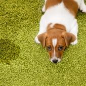Je hond plast plots in huis. Vervelend, maar niet onoverkomelijk!