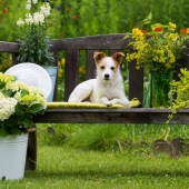 plantes toxiques chien jardin dangereux