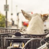 Samen op stap! Je hond trainen om in een fietsmand te zitten