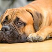 verveling hond uitdaging stress