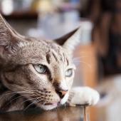 verveling kat frustratie stress