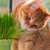 Mijn kat eet gras. Is dat gezond of juist gevaarlijk?
