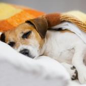 Heeft je hond warme oren? Dit kan er aan de hand zijn