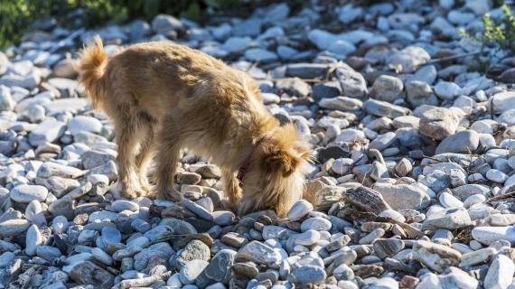 Waarom eten honden stenen – en wat kun je eraan doen?