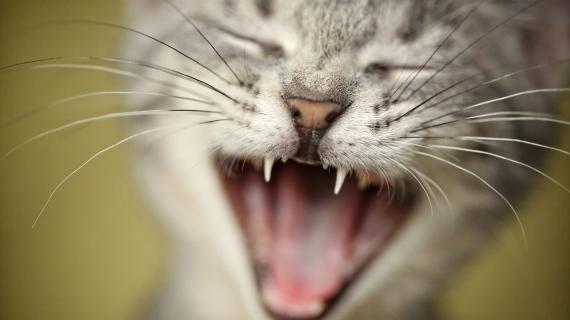 Mijn kat miauwt de hele tijd. Voelt ze zich angstig?