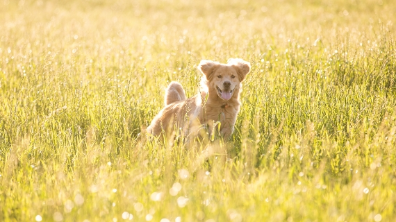 hond in hoog gras