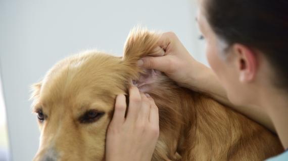 Wat moet je doen als je hond een oorontsteking heeft?
