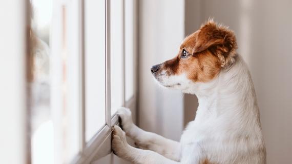verlatingsangst honden