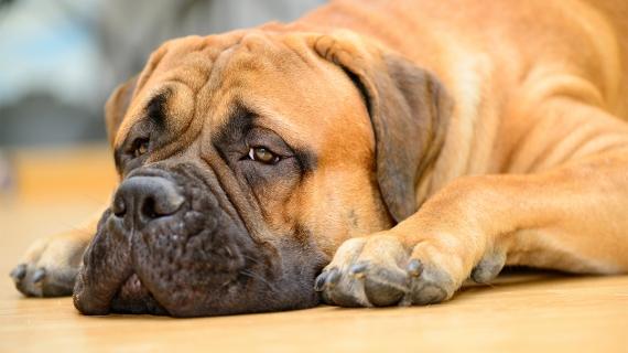 reconnaître l'ennui chiens