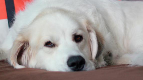 Mon chien a de l'arthrose. Dois-je le faire piquer ?