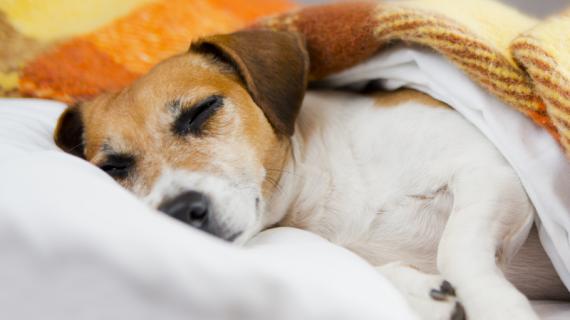 Votre chien a les oreilles chaudes : pourquoi ?