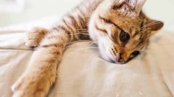 Zo help je je kat herstellen van een gescheurde kruisband