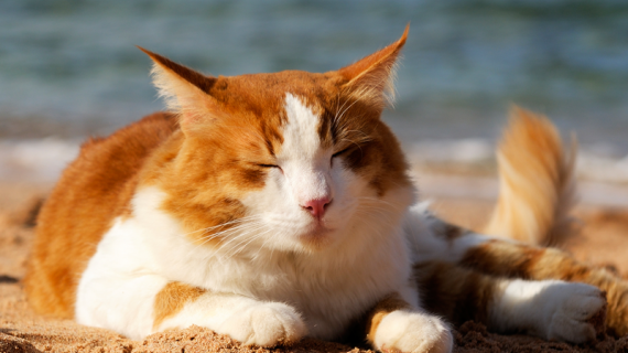 Heeft je kat last van de hitte? Zo help je ze afkoelen