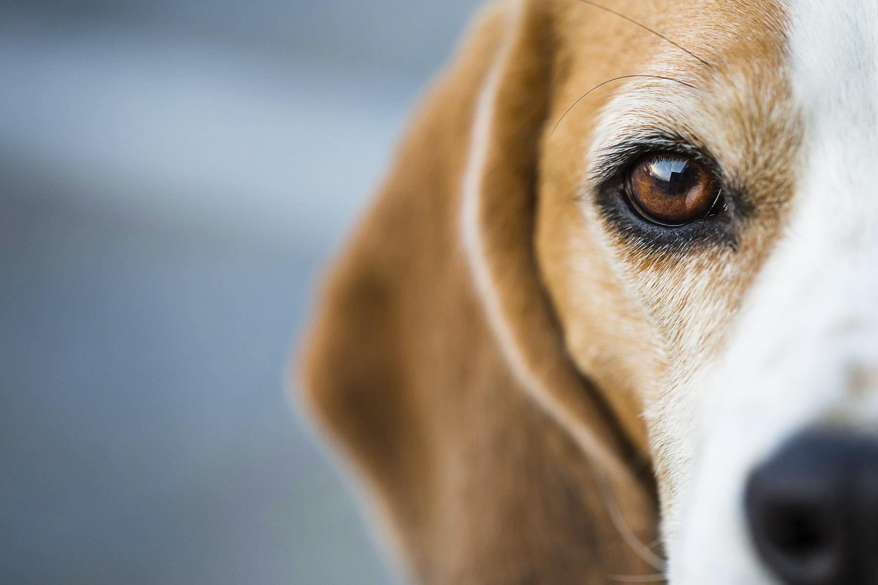 de ogen van je hond verzorgen alles wat je moet weten. Black Bedroom Furniture Sets. Home Design Ideas
